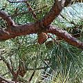 Pine Tree by Nance Larson