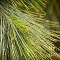 Pine Tree Needles by Tim Hester