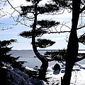 Pine Tree Silhouette by D L Gerring