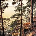 Pine Trees Of Holy Island by Jenny Rainbow