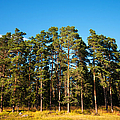 Pine Trees Of Valaam Island by Jenny Rainbow