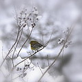 Pine Warbler In The Snow - Better Than Red by Travis Truelove