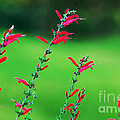 Pineapple Sage by Kaye Menner