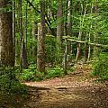 Pinewood Path by Matthew Pace