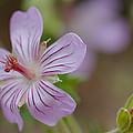 Pineywoods Geranium by Kent Becker