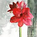Pink Amaryllis by Claudia Hafner