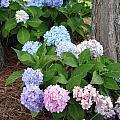Pink And Blue Hydrangea by Caryl J Bohn