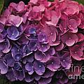 Pink And Blue Hydrangea by William Norton