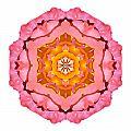 Pink And Orange Rose I Flower Mandala White by David J Bookbinder