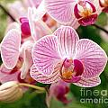 Pink And Purple Butterfly Orchids by Yali Shi