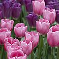Pink And Purple Dutch Tulips by Juli Scalzi