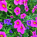 Pink And Purple Petunias by Aimee L Maher ALM GALLERY