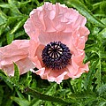 Pink And Purple Poppy by Cathy Mahnke