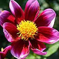 Pink And Red Dahlia by Bruce Bley