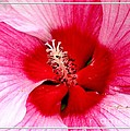 Pink And Red Hibiscus Flower by Rose Santuci-Sofranko