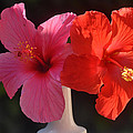 Pink And Red Hibiscus by Jay Milo