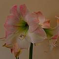 Pink And White Amaryllis  by Gary Rieks