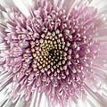 Pink And White Chrysanthemum by Marian Palucci-Lonzetta