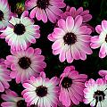 Pink And White Daisies by Jaroslaw Blaminsky