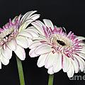 Pink And White Gerbera 2 by Steve Purnell