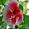 Pink And White Hibiscus by Nancy Mueller