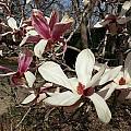 Pink And White Spring Magnolia by Caryl J Bohn