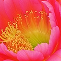 Pink And Yellow Cactus Flower by Michelle Cassella