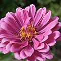 Pink And Yellow Flower by Barbara Snyder
