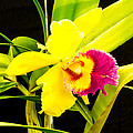 Pink And Yellow Orchid Flower  by Tibor Co