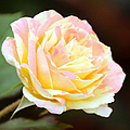 Pink And Yellow Rose by Elizabeth Winter