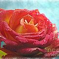 Pink And Yellow Rose With Dew II  by Debbie Portwood