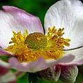 Pink Anemone by J L Kempster
