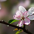 Pink Apple Blossom by Alexander Senin