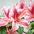 Pink Azaleas by Todd Blanchard