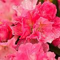 Pink Azalias by Paul Mangold