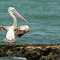 Pink-backed Pelican Looking Over Shoulder by Dave Montreuil