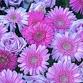 Pink Background Daisy And Roses by Connie Cooper-Edwards