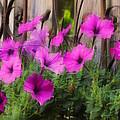 Pink Beauties by Jim Vance