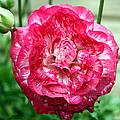 Pink Beauty by Bob Slitzan