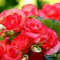 Pink Begonia by Lew Davis