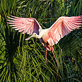 Pink Bird Flying - Spoonbill Coming In For A Landing by Bill Swindaman