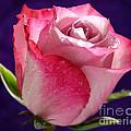 Pink Bliss by Krissy Katsimbras