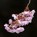 Pink Blossom With Raindrops by Juergen Roth