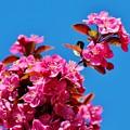 Pink Blossoms Blue Sky 031015a by Edward Dobosh