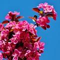 Pink Blossoms Blue Sky 031015aa by Edward Dobosh