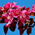 Pink Blossoms Closeup 031015ab by Edward Dobosh