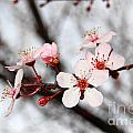 Pink Blossoms by Debra Thompson