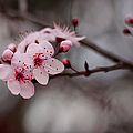 Pink Blossoms by Michelle Wrighton