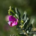 Pink Blush - Sweet Pea Bush  by Joy Watson