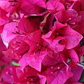Pink Bougainvillea by Becky Canterbury
